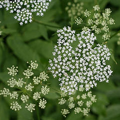 Cow parsley a great free herb your natural horse which may be because it has a close resemblance to hemlock same family which is a highly poisonous white flower closely linked with witchcraft mightylinksfo